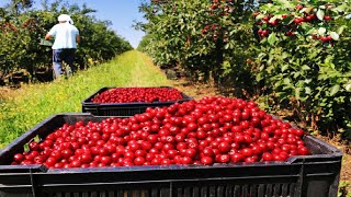 Cherries Harvest by hand and Harvest by machine - Cherry sorting and packaging Factory