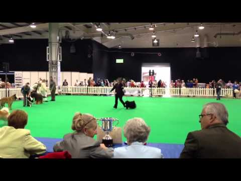 Hungarian Puli, Best of Breed, City of Birmingham 12