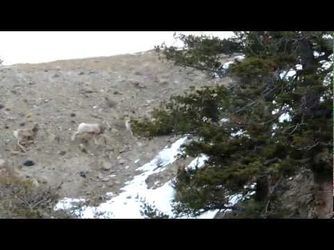 Bighorn Sheep in Yellowstone, Februrary 2013
