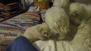 Maltese Puppies fighting for fun, a viral video TRY NOT TO LAUGH