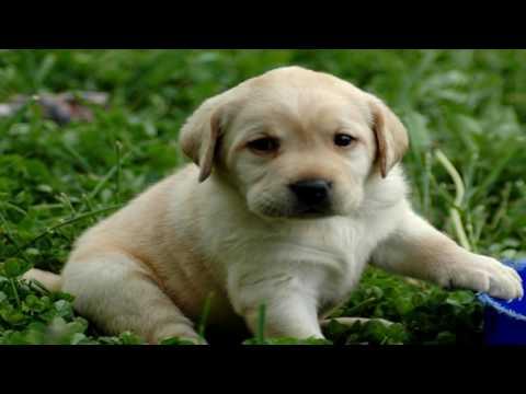Labrador Retriever Deworming
