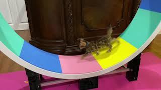 8 Week Old Bengal Kitten on Ferris Cat Wheel