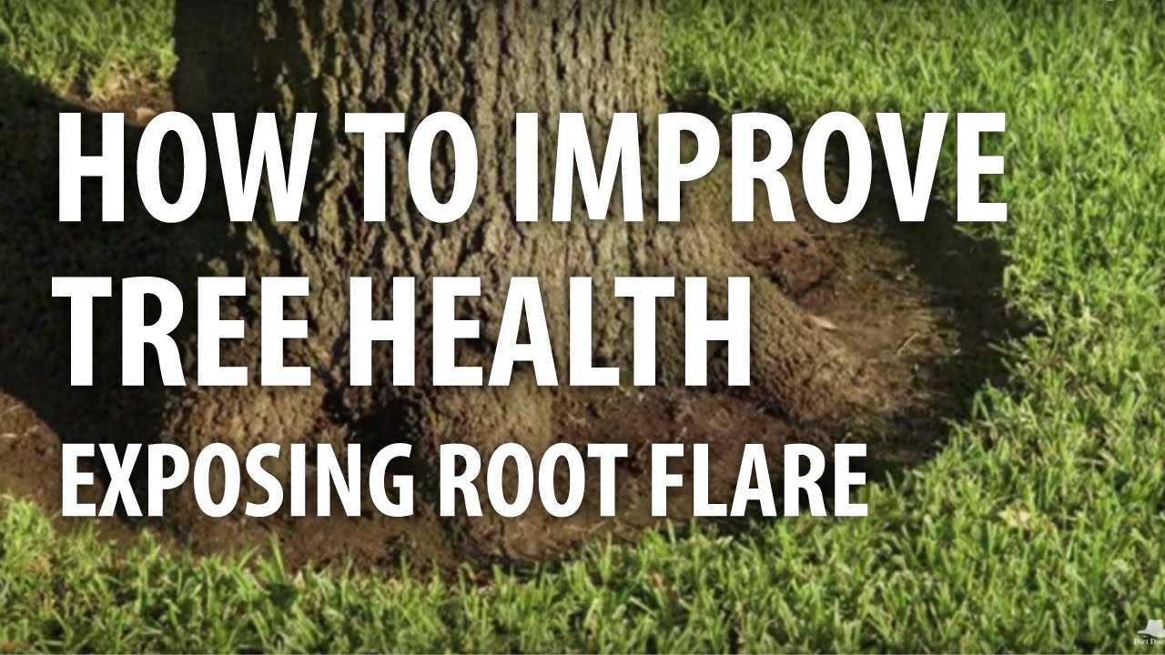 How To Improve Tree Health Exposing Root Flare The Dirt Doctor