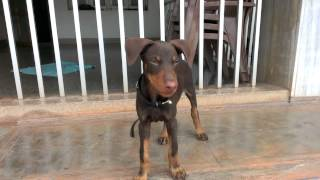 My Pet Doberman Pinscher - 10 Weeks Old..
