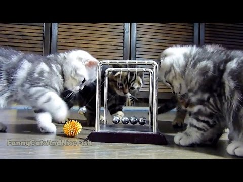 Thumbnail for Cat Video Cute Kittens Try to Learn About Physics with Newton's Cradle