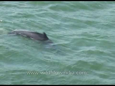 Dolphins in south India!