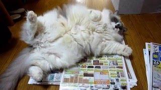 わざとな猫にチラシのダミー作戦 thumbnail