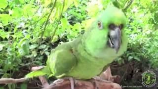 Parrot Impersonators