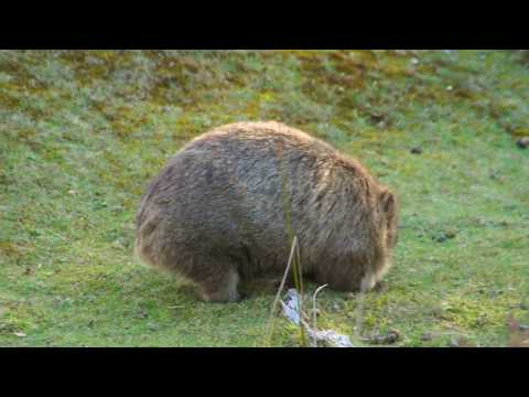 Wombat - Maria Island - Tasmania