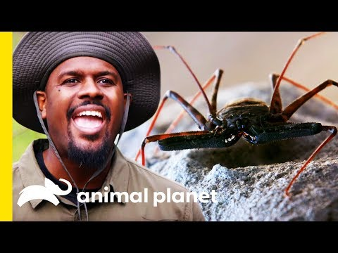 The Tailless Whip Scorpion Is A Lethal Ambush Predator! | Little Giants