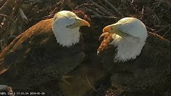 Live Bald Eagle Nest Cam, We Have Two Eaglets!! NEFL PTZ Cam 1