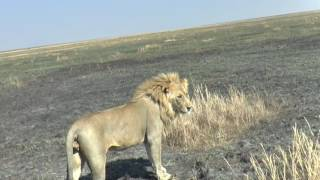 Huge Male Serengeti Lion traps Irish and American Tourists in Car