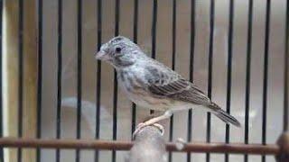 HD Audio Suara Burung Edel Sanger Ngerol