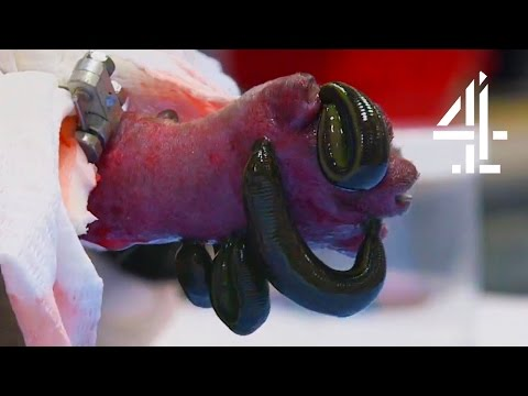Using Leeches To Save A Kitten's Leg | The Supervet