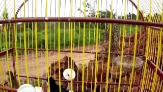 BIGODINHO cantando encima da fêmea(CANTO LIMPO)