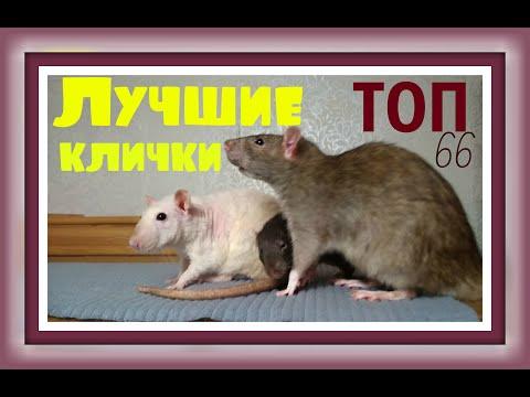 Вопрос: Какую кличку придумать для белой декоративной крысы?