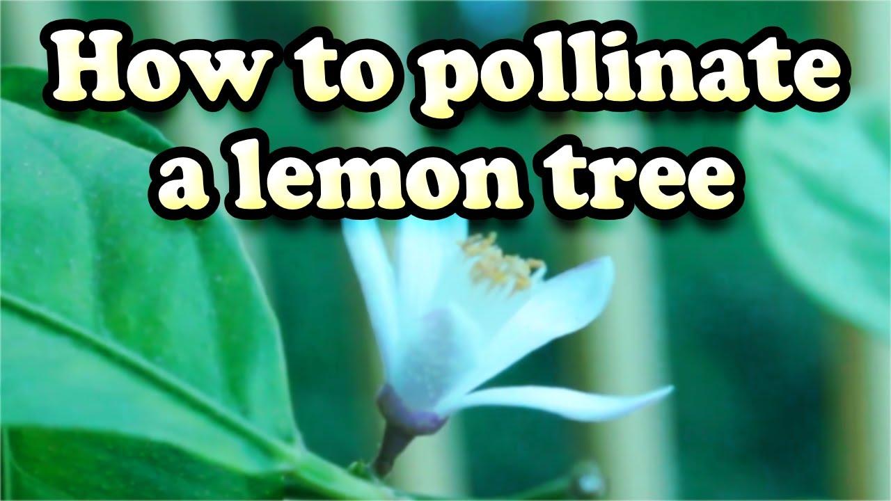 How to Pollinate a Lemon Tree