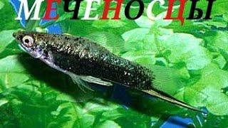 Аквариумные рыбки . Меченосцы.
