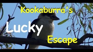 Lucky Kookaburra Cheats Death