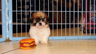 Shi Chon, Puppies For Sale, In, Hampton, Virginia, West, VA, Norfolk, Chesapeake, 19Breeders