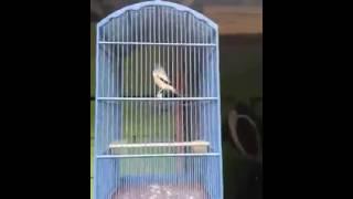 Suara Burung Pentet Jatim kepala hitam Gacor