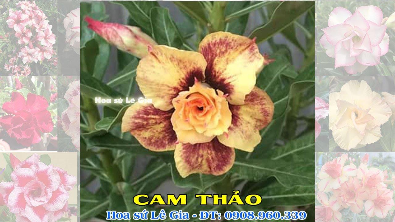 04/07/20 - Nay con có 30 cây sứ thái đẹp. Giá: 130-250k/cây. Liên hệ: 0908.960.339