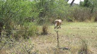 I am sharing this because 1) this was unusual behavior (lions gener...