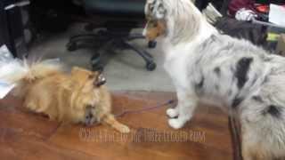 Australian Shepherd Bullies Three Legged Pomeranian