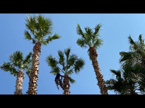 Amateur climber TRAVERSING tall PALMS