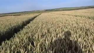 2.07.19. Озимая пшеница сорт Алексеич.