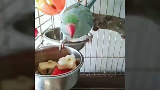 Ожереловый попугай. Индийский кольчатый попугай крамера.