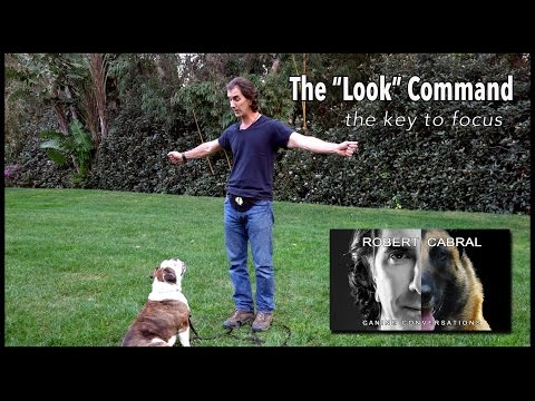 Teach Your Dog to Look at You - with Stella - #13 Robert Cabral Dog Training