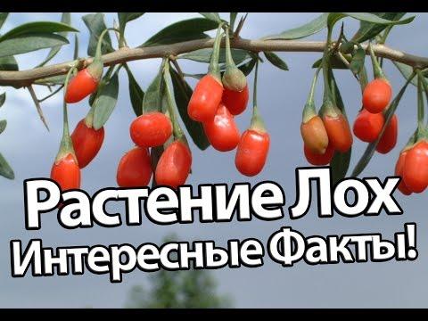 Растение Лох Интересные Факты!