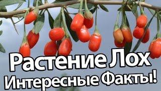 Растение Лох - Интересные Факты!