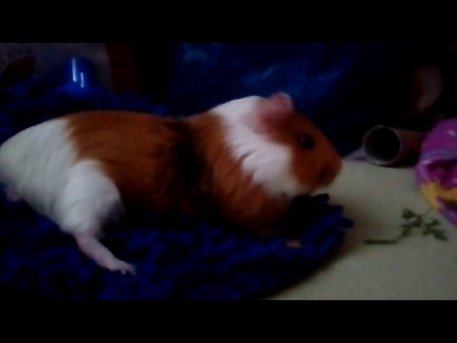 Cute Guinea Pigs Playing ? [Funny Pets] - Copenhaver Construction Inc