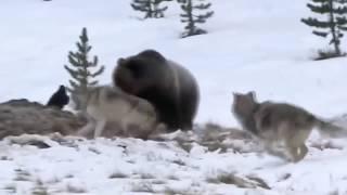 Версус! Волк против медведя! Самые эпичные бои волков!!!