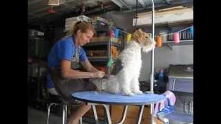 "How To Hand-stripping Wirehair Fox Terrier Part 3 - With ""franz Ferdinand""!"