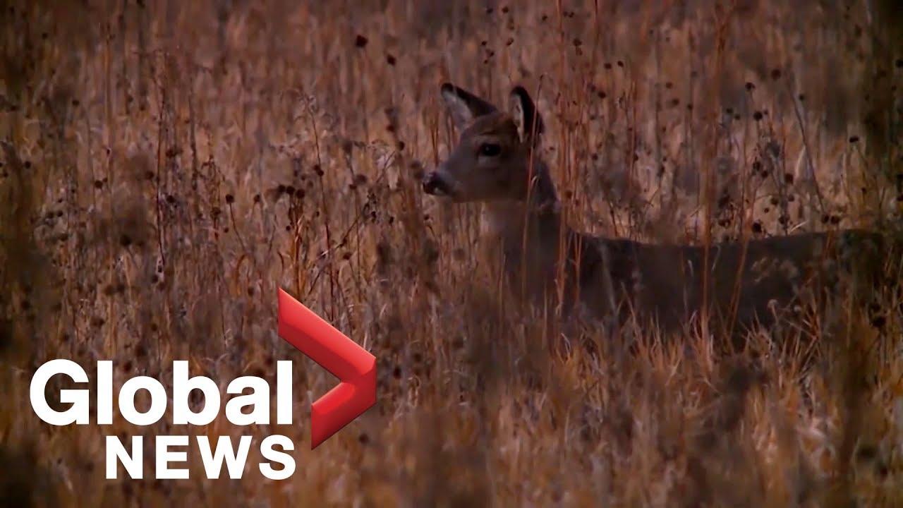 'It eats holes in the animals brain': 'Zombie Deer Disease' causing stir in U.S.