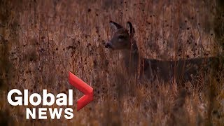 'It eats holes in the animals brain': 'Zombie Deer Disease' causing stir in U.S. midwest, SK, AB, QC
