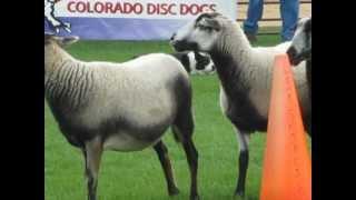 A border collie demonstrates sheep herding at the Scots/Irish Festi...