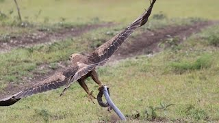 Cobra Vs & Eagle, Attacks  Animal Fight Videos Compilation 2016 HD