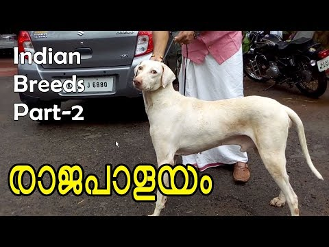 Rajapalayam dog I indian breed champion dogs part2 I pure indian breeds