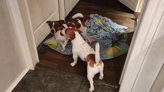 Джек-Рассел. Мои сыночки Пашки. Пашки после ванной. Намылись накупались.