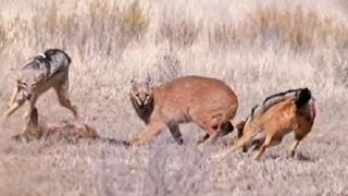 獲物を争う2匹のジャッカルVsカラカル