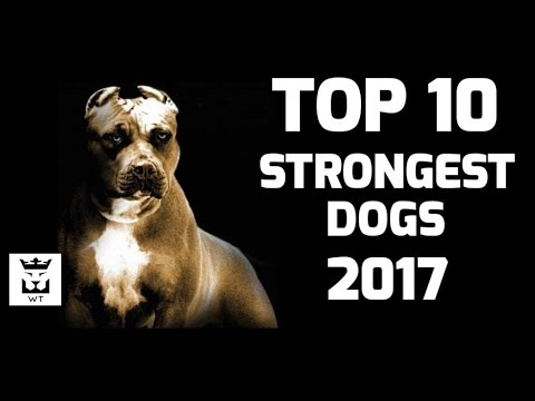 Top 10 Strongest Dogs Breeds(Powerful Dogs) - YouTube