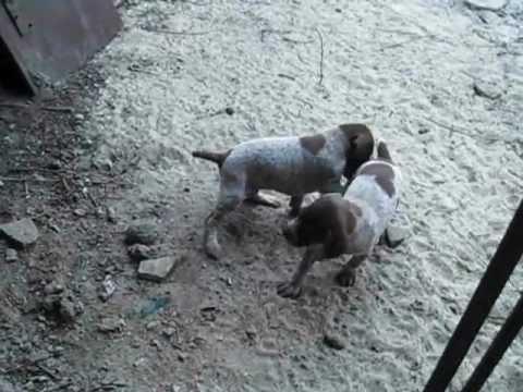 Продам щенков курцхаара - YouTube