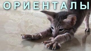 Котёнок ориентальной породы   талисман вашей семьи