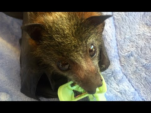 Baby flying-Fox does scratchies on command:  this is Scaramouche