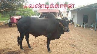 kangayam bull and calf