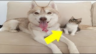 When This Kitten Met A Husky Dog, What Happened Next Will Melt Your Heart .